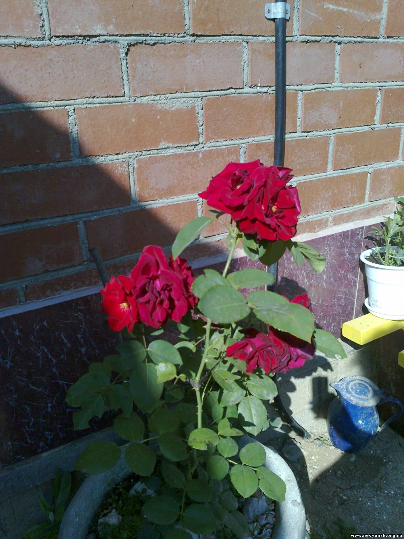 Как растить плетистые розы 2